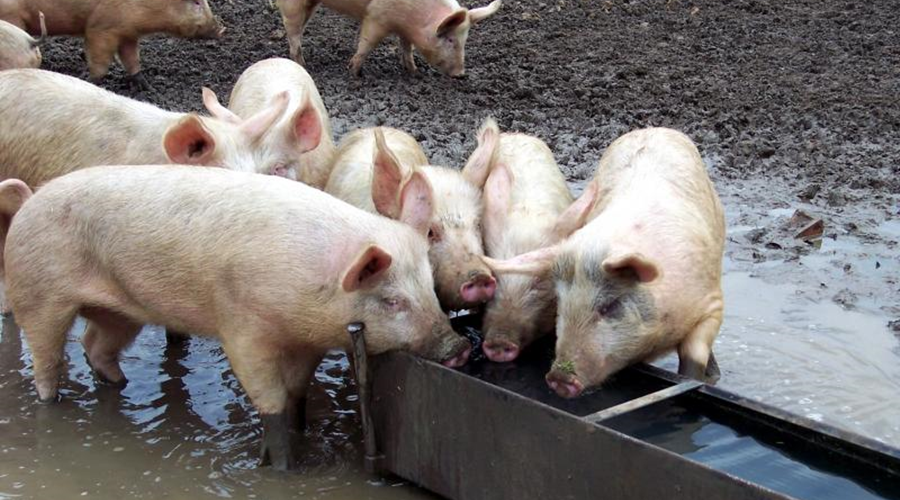 Picture of Pigs Eating at Trough is like Congress